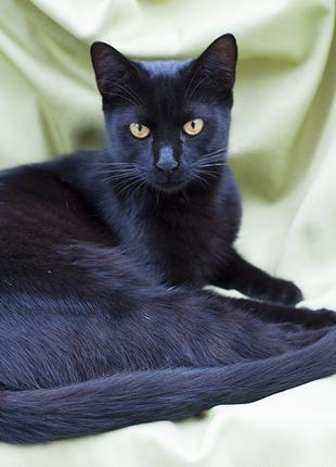 Кошка черная мега ласковая