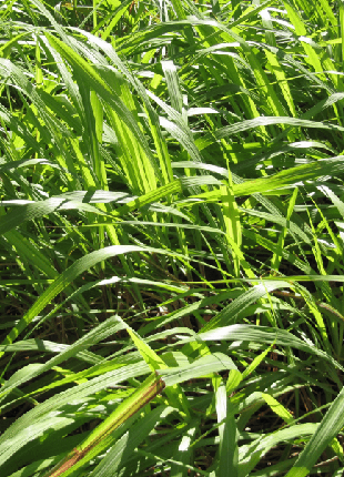 Эфирное Масло Цитронелла, Ява (Cymbopogon winterianus) - 1 Кг