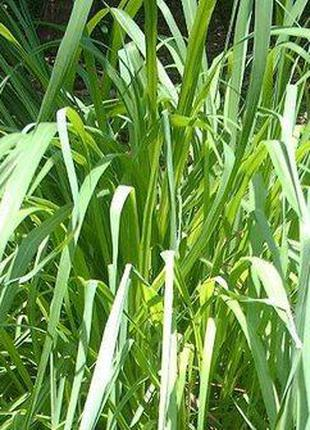 Эфирное Масло Цитронелла, Китай (Cymbopogon winterianus) - 1 Кг
