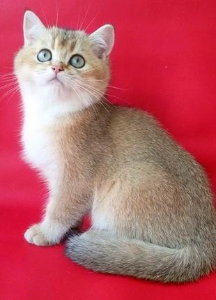 Породистые котята ищут хозяив.Готовы переехать в новый дом.Золото