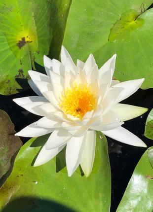 Нимфеи, водяная лилия, растения для водоёма,до пруда