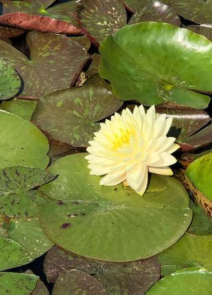 Нимфеи, водяные лилии,растения для водоёма, для пруда
