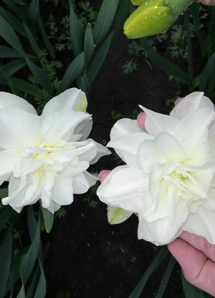 Нарцисс белый махровый.