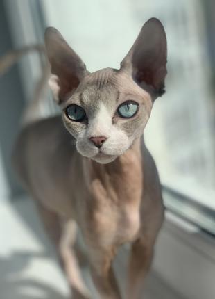 Котенок девочка канадский сфинкс