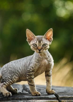 Ушастые котята девон-рекс