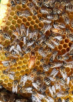 В наличии плодные пчеломатки бакфаст f1