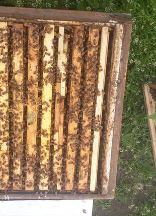 В наличии плодные пчеломатки итальянки!