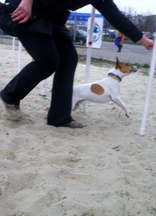 Дрессировка собак, спорт для собак (Дарница)