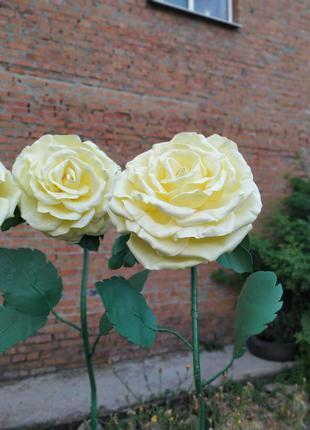 Троянди ростові кольору шампань