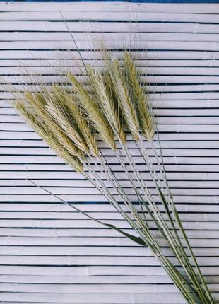 Пшеница для декора