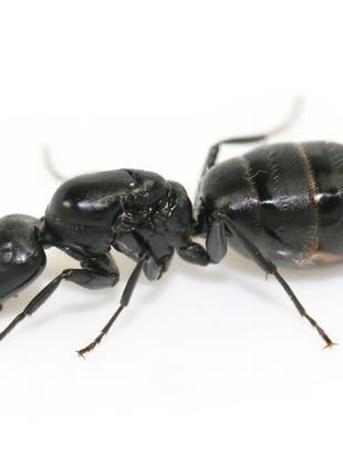 "Муравьиная матка ""Camponotus vagus"""
