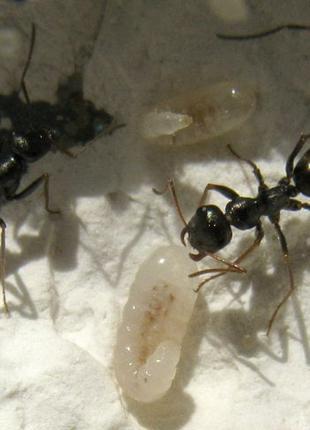"Колония муравьев вида ""Cataglyphis aenescens"""