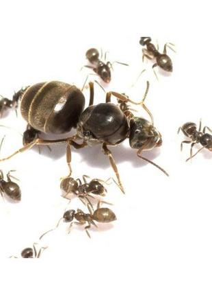 """Матка муравья Lasius niger"""""""