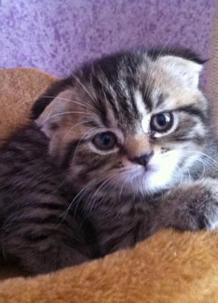 Породистый вислоухий шотландский котенок-ласковый подарок