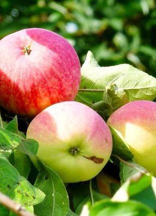 Продажа саженцев  плодово-ягодных культур
