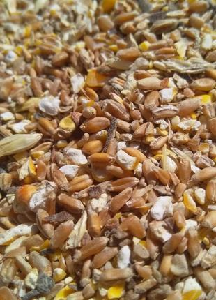 Продам пшеницу+кукуруза (70%/30%). Есть 17т.