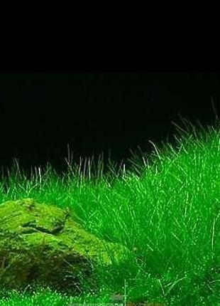 Ситняг крошечный. Аквариумные растения