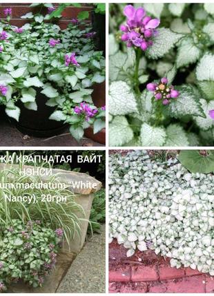"""Яснотка крапчатаясорт ВАЙТ НЭНСИ (Lamium maculatum """"White Nancy"""""""