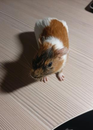 СРОЧНО!!! Морская свинка. 2 месяца. Девочка.