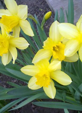 Нарциссы желтые крупнокорончатые