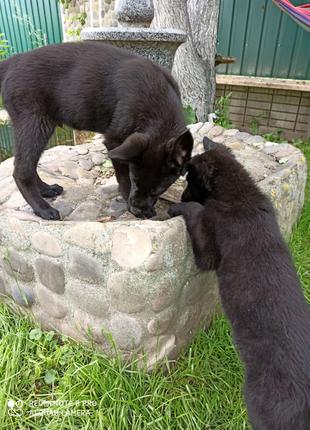 Черная Овчарка щенки 3мес
