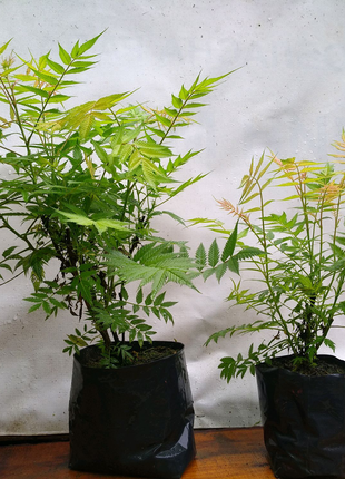 Sorbaria sorbifolia 'Sem' PBR