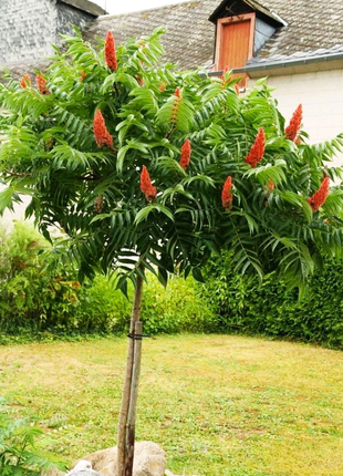 Уксусное дерево. Сумах виргинский. Саженец декоративного дерева.