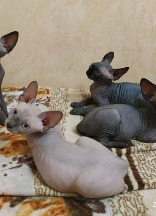 Продам котят породы Канадский Сфинкс. Одесса