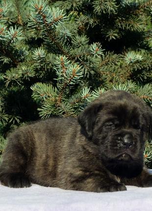Щенки Английского мастифа , самая крупная и редкая порода собак в