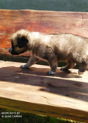 Щенок Кавказской овчарки и алабая