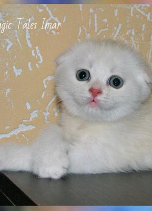 Шотландские прямоухий и вислоухие котята серебристо - кремовые