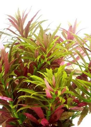 Лимнофила ароматика мини. Растения для аквариума