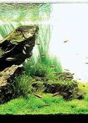 Ситняг Игольчатый. Растения для аквариума