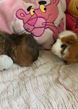 продам двух свинок