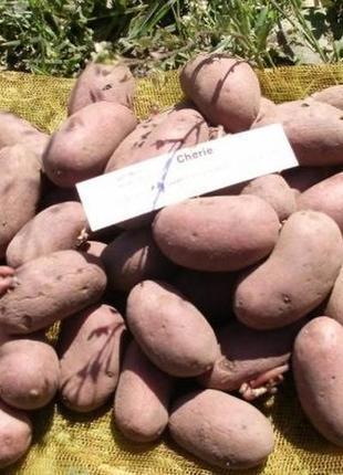 Семенной картофель элитных сортов. Отправляем почтой от 10 кг.