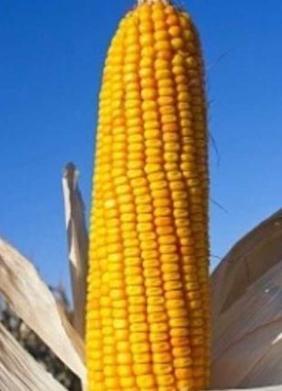 Семена кукурузы Оржица 237