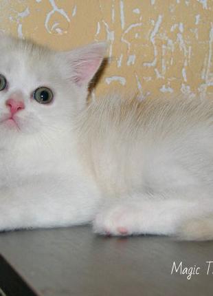Породистый шотландский прямоухий кремовый  котёнок