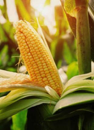 Семена кукурузы Дункан