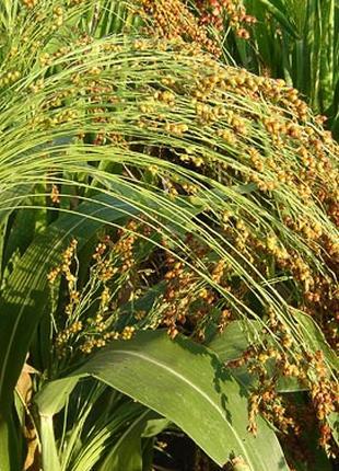 Семена зернового сорго Майло В