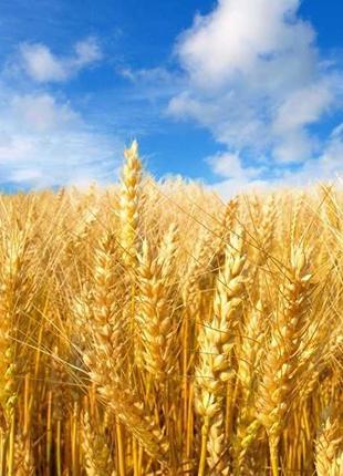 Озимая пшеница Наснага