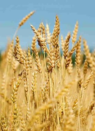 Семена озимой пшеницы Наснага