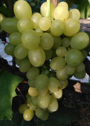 Саженцы винограда Болгария
