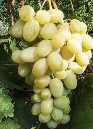 Саженцы винограда Ладанный 2