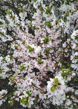 Саженцы китайской (войлочной) вишни