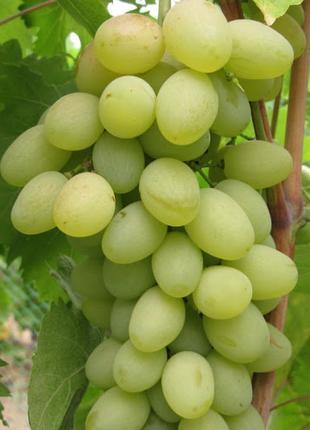 Саженцы виноградаМонблан
