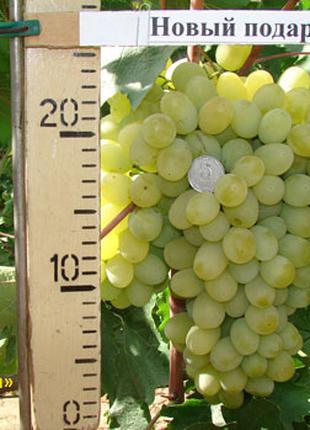 Саженцы винограда Новый Подарок Запорожью