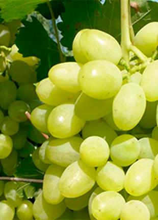 Саженцы винограда Светлый