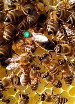 Матка Карпатка 2019 плодные. Бджоломатки (Пчелопакеты 2019 )