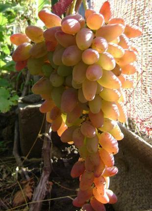 Саженцы винограда Заграва
