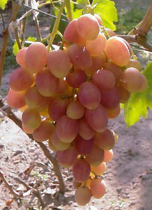 Саженцы винограда Ксения (Анжелика)